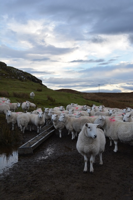 sheep on the Isle of SKye - Edinburgh to the Isle of Skye Tour Highlights