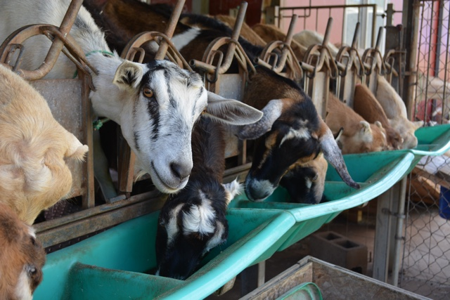 goats eat as they get milked at the surfing goat dairy in Maui - The Best of Maui and Oahu