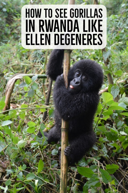 How to See Gorillas in Rwanda Like Ellen DeGeneres pinterest