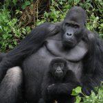 How to See Gorillas in Rwanda Like Ellen DeGeneres