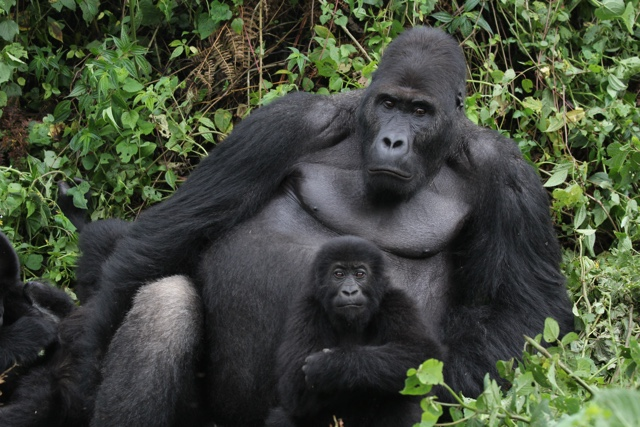 How to See Gorillas in Rwanda Like Ellen DeGeneres