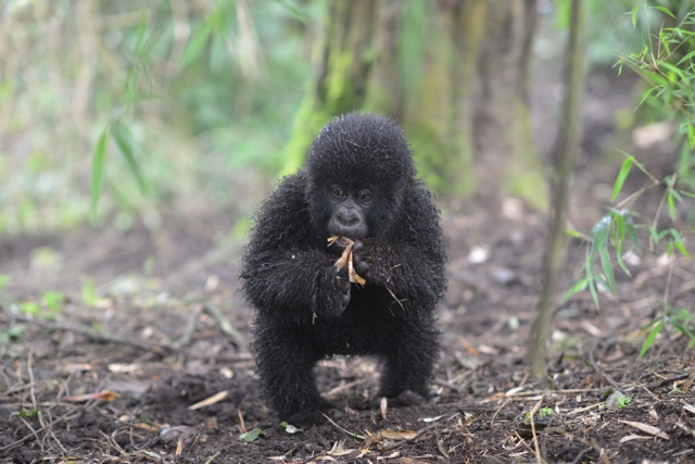 tiny baby gorilla - image credit Dian Fossey fund