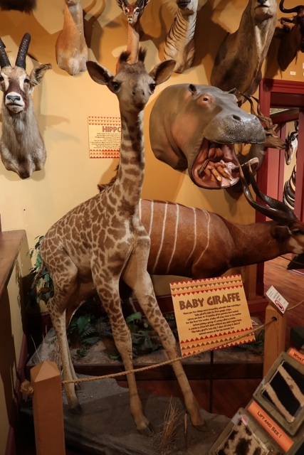 taxidermy baby giraffe and hippo at the buckhorn museum - Things to do in San Antonio Today