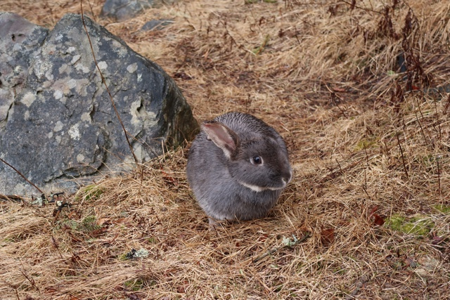 a wild bunny at the white point beach resort