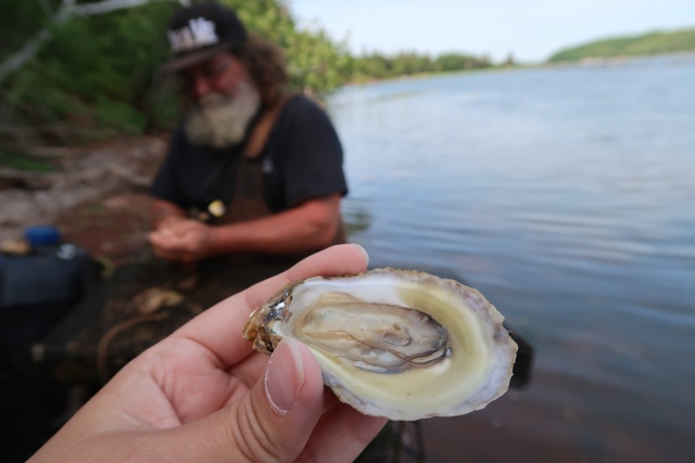 a malpeque oyster freshly shucked right out of the ocean