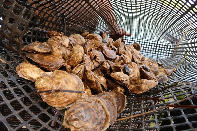 malpeque oysters fresh from the ocean in Prince Edward Island